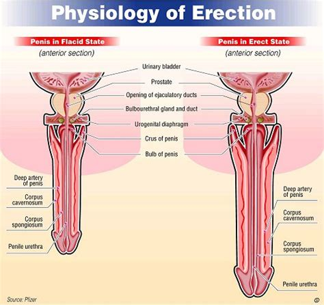 physiology of the erection health24