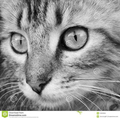 black  white photo   cat face close  stock photo