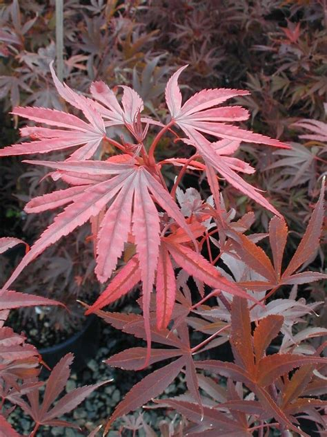 maples for all seasons acer p shaina picture is in fall spring color is pink red unusual leaf shape call for
