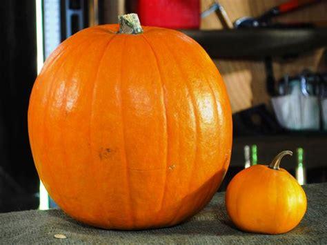 halloween pumpkin carving  large pumpkin eating  small