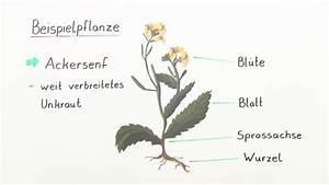 Bau Der Pflanze : die pflanzenorgane biologie sofatutor ~ Lizthompson.info Haus und Dekorationen