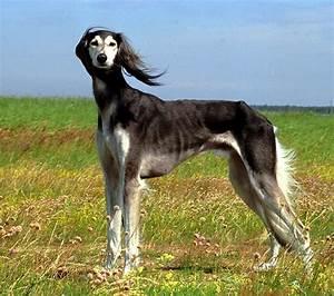 ODYSSEUS TRUNK: Saluki - Royal Dog of Egypt