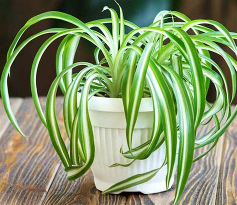 spider plants benefits types indoor  outdoor growth care guide