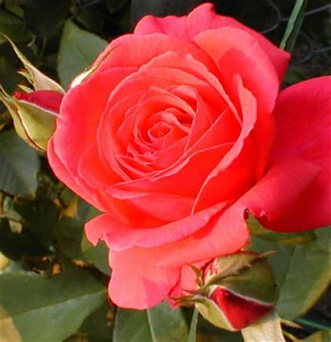 best smelling roses rosa fragrant cloud best smelling rose in all the land highly resistant to disease low