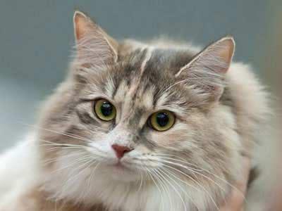 Grey Cat Breeds Long Hair