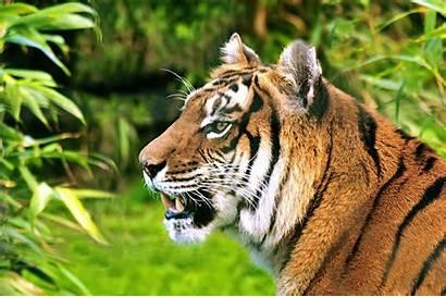 Tiger Animal Hungry Wallpapers Pantalla Animals Tigre