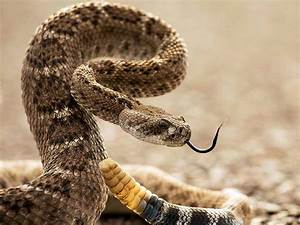 Mrs. Remis' Science Blog - 5th Grade: DIAMONDBACK RATTLE ...