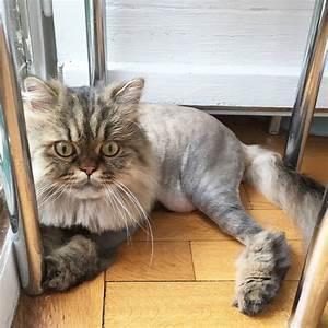 Top Ten Cute Persian Tabby Cat