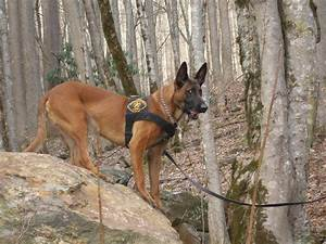 belgian malinois dog working police – Pure Malinois Puppies