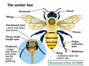Bee Control  U2013 Webb Pest Control