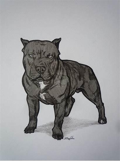 Nose Pitbull Drawings Pitbulls Dog Wallpapers Drawing