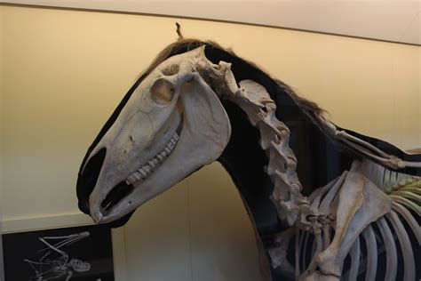 skeleton horse mammal history natural mammals museum london domestic makes file vs long commons wikimedia mighty low