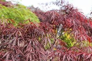 Roter Japanischer Ahorn : japanischer roter schlitzahorn garnet acer palmatum dissectum garnet g nstig online kaufen ~ Frokenaadalensverden.com Haus und Dekorationen