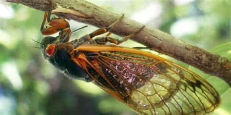 cicada every 17 years