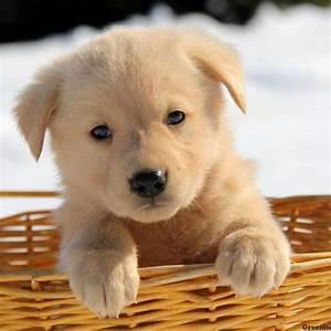 Golden Shepherd Puppies For Sale Greenfield Puppies