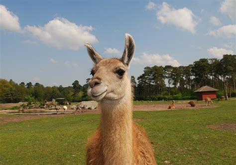 photo llama  fur animal wildlife