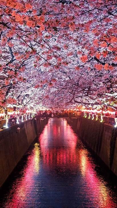 Sakura Spring 5k Nature 4k Wallpapers Vertical
