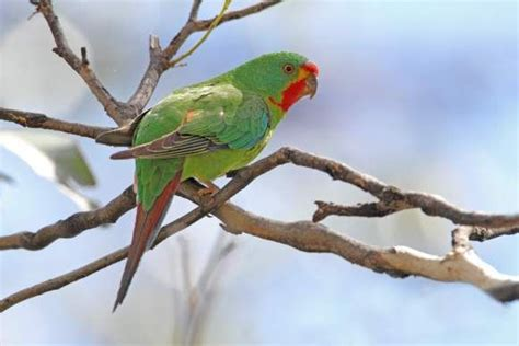 The Swift Parrot is on track to extinction at a faster