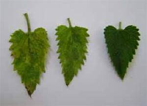 Symptoms Of Mosaic On Nepeta Cataria  On The Right  U2013 Symptomless Leaf