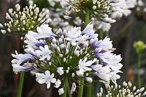 Agapanthus praecox Blue Ice PBR : : The Home Channel