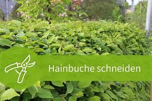 Hainbuche Baum Schneiden : hainbuche schneiden anleitungen f r baum und hecke ~ Watch28wear.com Haus und Dekorationen