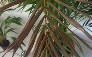 Kentia Palme Braune Blätter : goldfruchtpalme bekommt braune bl tter pflanzenkrankheiten sch dlinge green24 hilfe pflege ~ Watch28wear.com Haus und Dekorationen