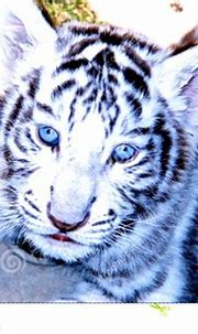 White Siberian Tiger Cubs With Blue Eyes | Wallpapers Gallery
