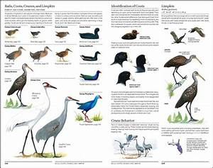The North American Bird Guide  David Allen Sibley