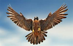 Falcon : National Bird of Saudi Arabia   Interesting Facts ...  Falcon