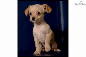 Chi-Poo - Chipoo puppy for sale near Mcallen / Edinburg ...