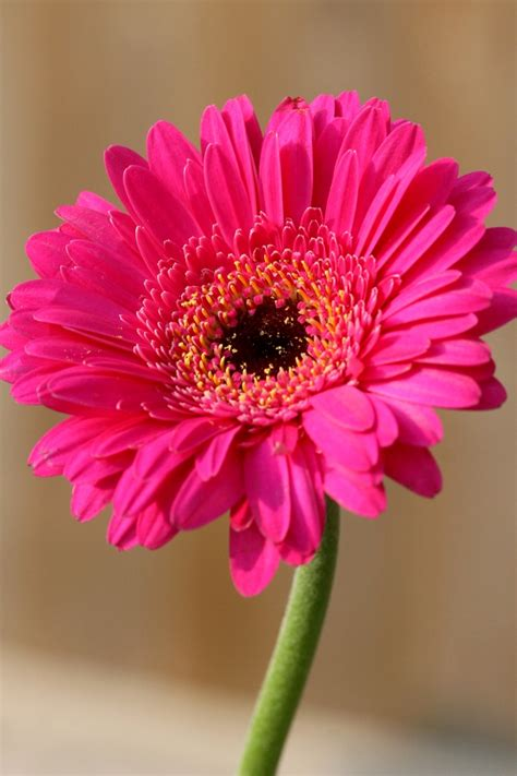gerber daisies seasonal flowers what blooms in july bloomnation blog