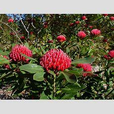 Australian Native Shrubs  Gardening With Angus