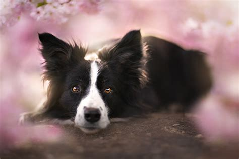 Animal Border Wallpaper - border collie wallpaper and background image 1500x1000