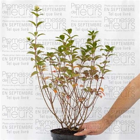 hydrangea paniculata sundae fraise hortensia panicul 233