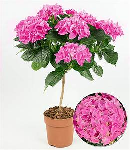 Hortensien Pflege Balkon : hortensien st mmchen ankong pink baldur garten ~ Lizthompson.info Haus und Dekorationen