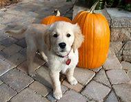 Cute Puppies Golden Retriever Dog