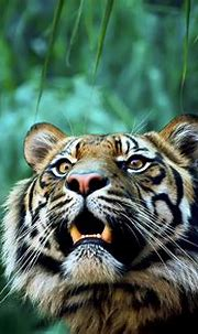 animals, Nature, Tiger Wallpapers HD / Desktop and Mobile ...