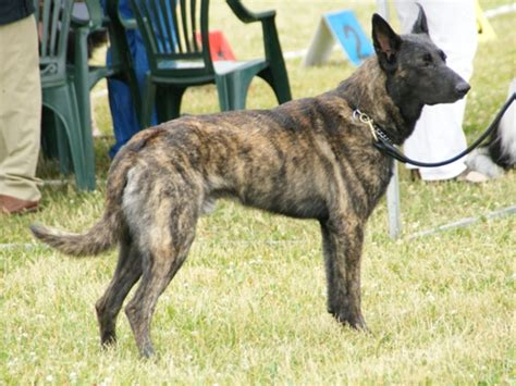 Fileshort Haired Dutch Shepherd  Jpg Wikimedia Commons