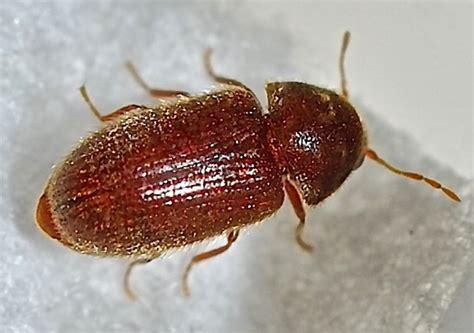 beetle stegobium paniceum bugguidenet