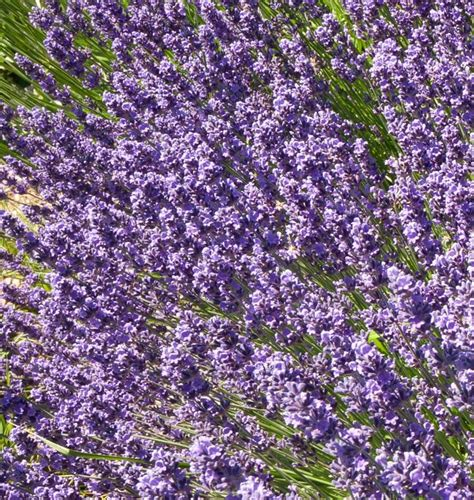 growing lavender how to grow lavender growing lavender from seed