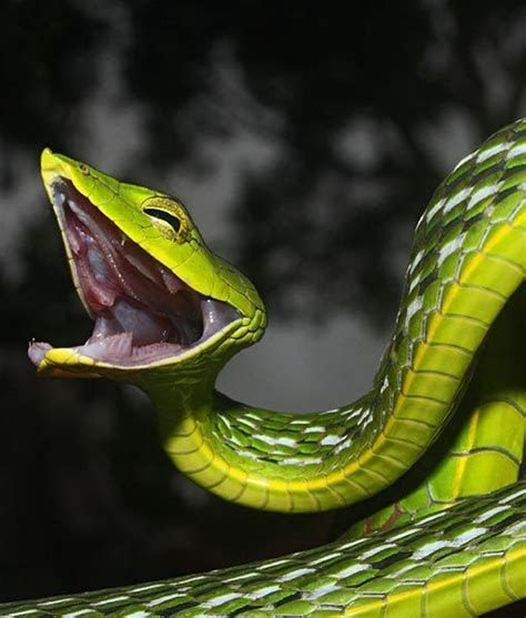 asian vine snake family colubridae habitat humid