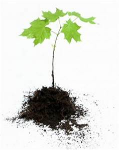 MLF Guide to planting small seedlings :: Maple Leaves Forever