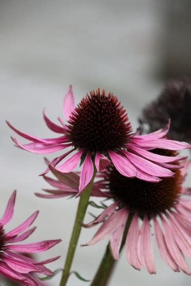 Ruby Giant Coneflower