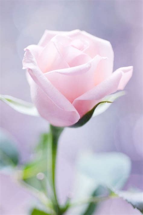 light pink roses soft pink pictures photos and images for