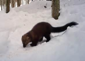 fisher cat walk with the fisher on outdoor radio vermont center for