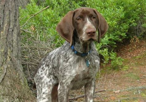 german shorthaired pointer excessive shedding german shorthaired pointer best chionships dogs show