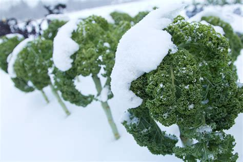 growing seeds in winter make room for kale how to grow kale gardener s supply