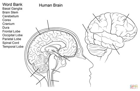 human brain worksheet coloring page free printable