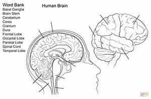 Human Brain Worksheet Coloring Page