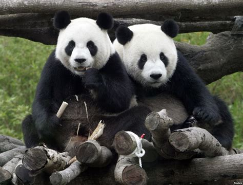 Japan Zoo Panda Couple Gets Privacy To Focus On Mating. Card Banners. In Flight Decals. Window Decals For Vehicles. Lives Matter Decals. Kody Rock Signs Of Stroke. Car India Stickers. Girl Soccer Decals. Executive Logo